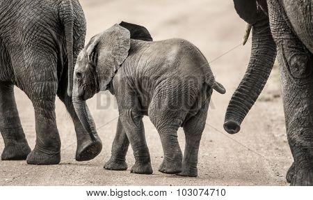 Baby Elephant walking, Serengeti, Tanzania