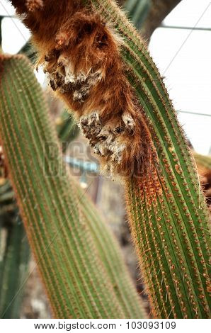 Wooly Cactus