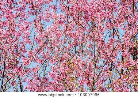 Himalayan Cherry flower (Prunus cerasoides) cherry blossom
