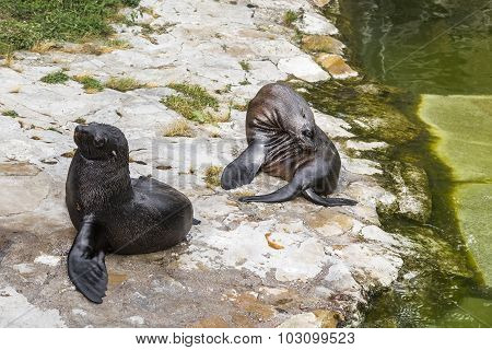 Sea Lions Resting On A Stone