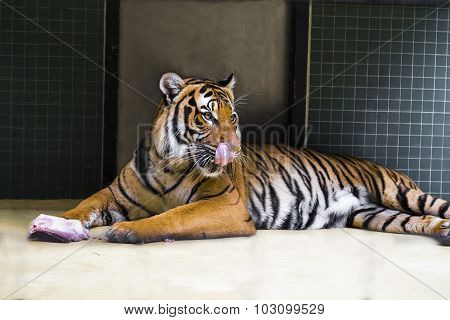BERLIN, GERMANY - AUGUST 06, 2013: Tiger lying on the floor and licks his lips. Berlin Zoo