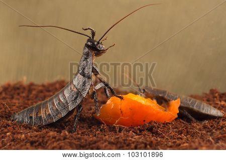 closeup Madagascar cockroaches eats orange fruit