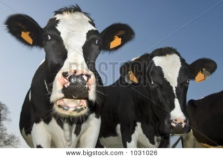 Cow With Open Mouth Looking At Lens