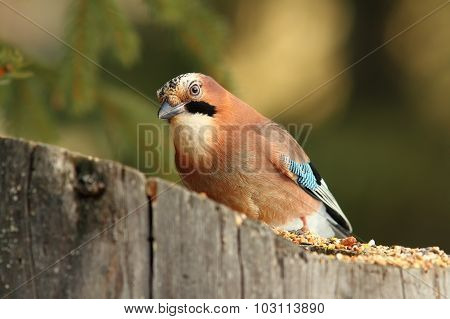 Colorful Jay On A Stump