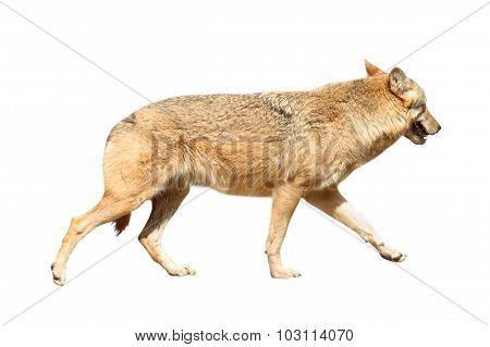 Isolated Eurasian Wolf