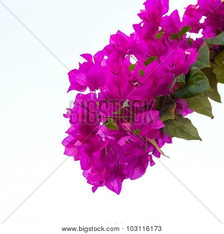 Pink Blooming Bougainvilleas On White Background