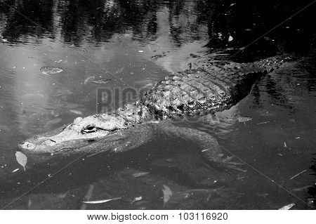 Florida Gator looking for its prey in black and white poster
