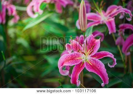 Pink And Yellow Day Lily Blossoms