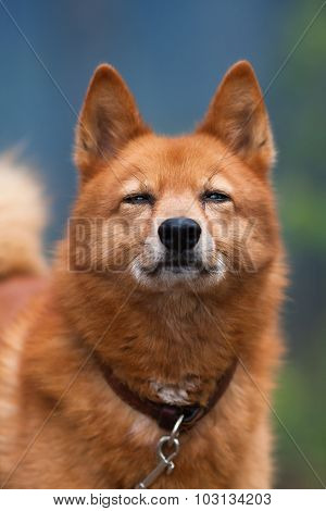 Portrait Of Squinting Hunting Dog