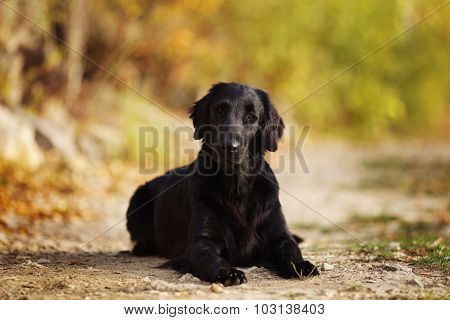 Black Retriever Lying On The Ground