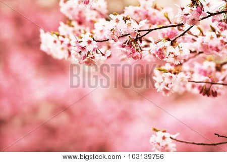 Cherry blossom. Intentionally shot in impressional tone.