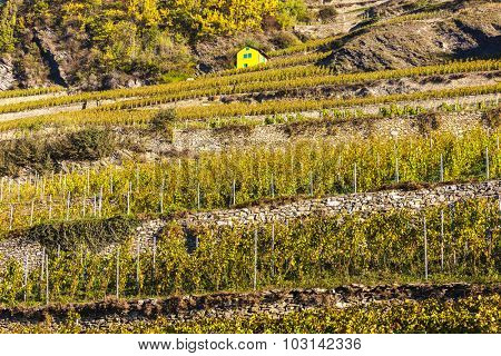 vineyard in Sion region, canton Valais, Switzerland