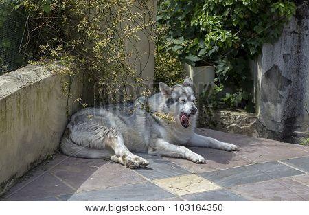 Alaskan malamute pet dog laying on a patio