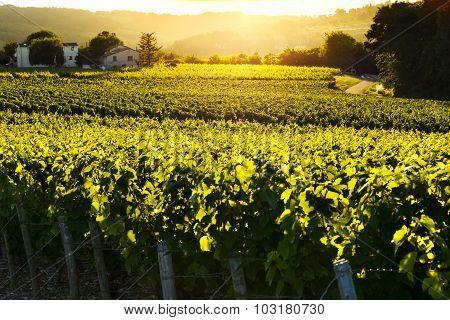 Sunset Lights Over Vineyards, France