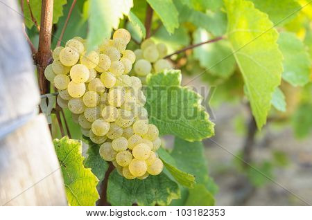 Grappe For White Wine