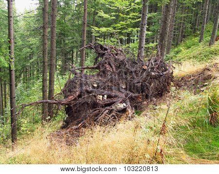 displaced tree