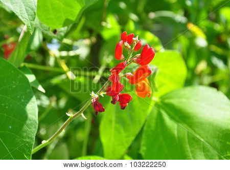 Runner Bean (phaseolus Coccineus)