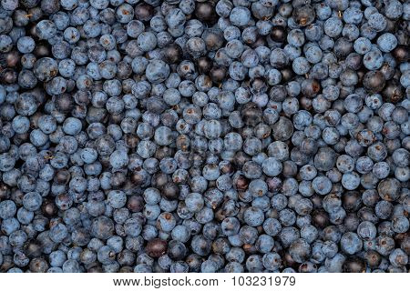 Sloes - Freshly Picked