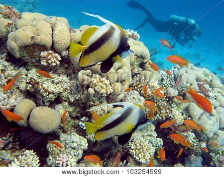 Coral  Reef With  Butterflyfishes And Diver In Tropical Sea , Underwater