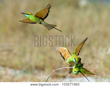 Three Little Green Bee-eaters (merops Orientalis) During Mating Competition At Goa
