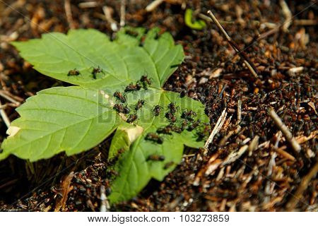Leaf in an anthill
