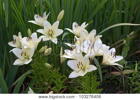 White Lily Flowers In Foliage Closeup