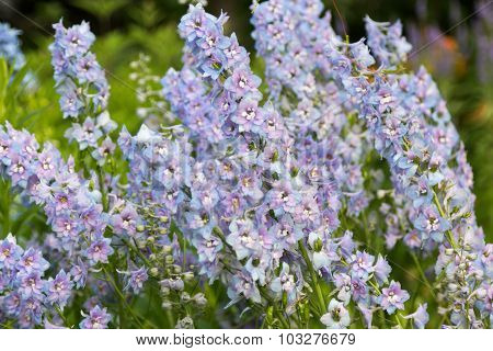 Small Soft Blue Flowers In Foliage Closeup
