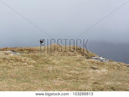 Skua Landing On A Meadow