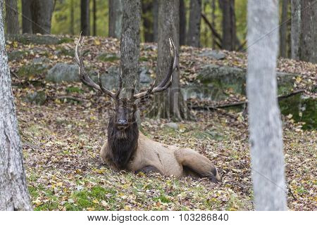 A large Wapiti in a forest environment
