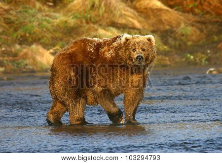 old kodiak brown bear