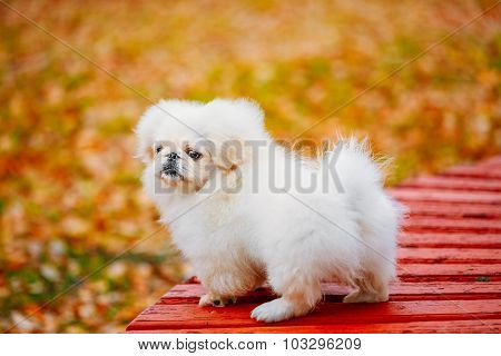 White Pekingese Pekinese Peke Whelp Puppy Dog Standing On Wooden Bench In Autumn Park poster