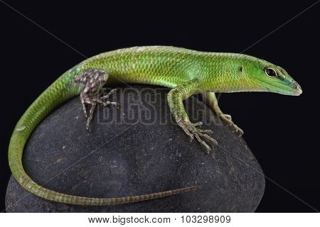 The Emerald skink (Lamprophis smaragdina) is an semi arboreal lizard species found on Papua New Guinea and Irian Jaya. poster