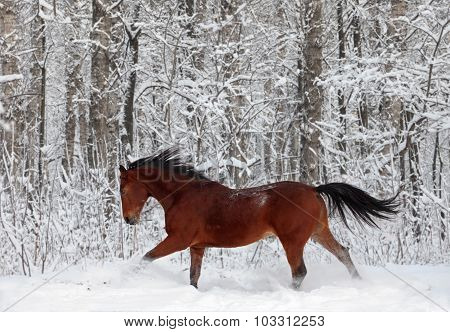 Quarter horse gelding running in sunlight in new fallen snow