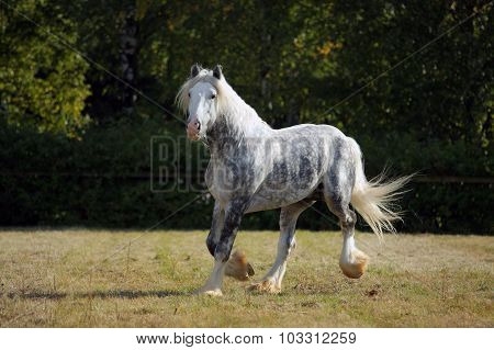 Shire Draft Horse stallion galloping in farm corral