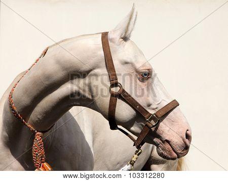 Beautiful Akhal-Teke cremello horse blue eyes portrait