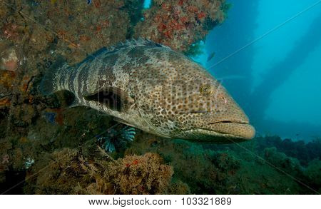 Large grouper in Exmouth, Western Australia