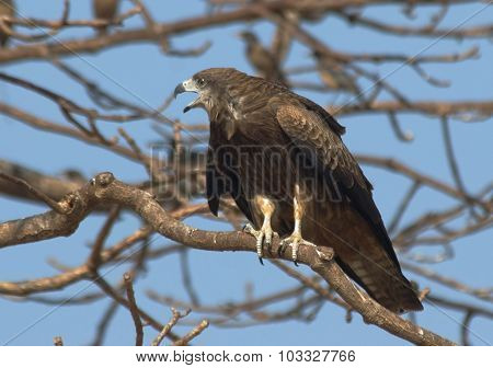 Black Kite On The Tree With Rosy Starlings