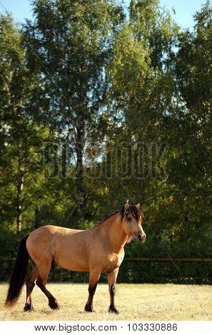 Hard working draft peasants horse in corral