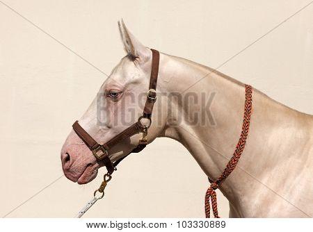 Blue eyed Cremello akhal teke horse portrait