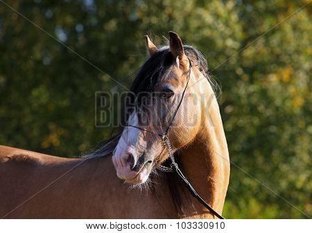 Tinker traveller pony in summer evening park background