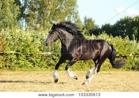 Shire Horse galloping on green evening meadow