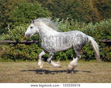 Dapple grey drum horse stallion runs gallop on meadow