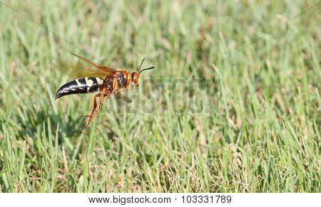 Cicada Killer In Flight