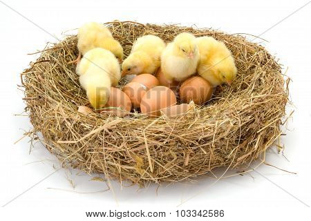 Newborn Chickens In Hay Nest Along Whole And Broken Eggs