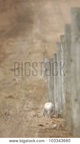 Snowy Owl By Fence