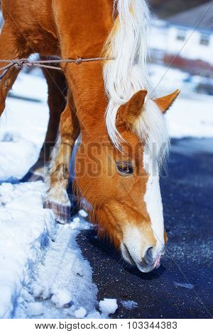Brown Horse Haflinger in snowy, on the way.