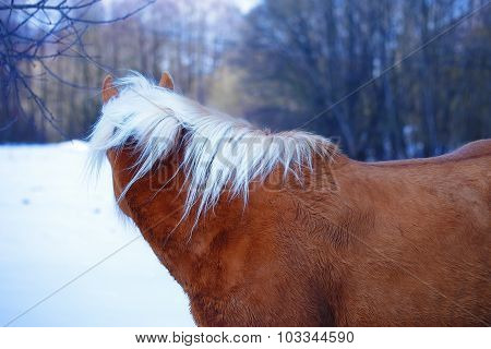 Brown Horse Haflinger in snow land. staring into the distance