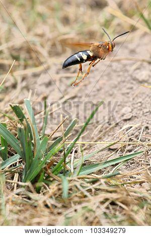Cicada Killer Takeoff