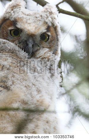 Baby Owl Portrait