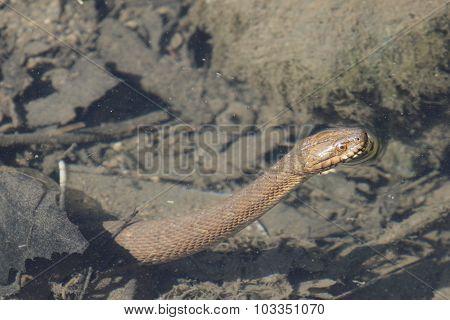 Water Snake In Water